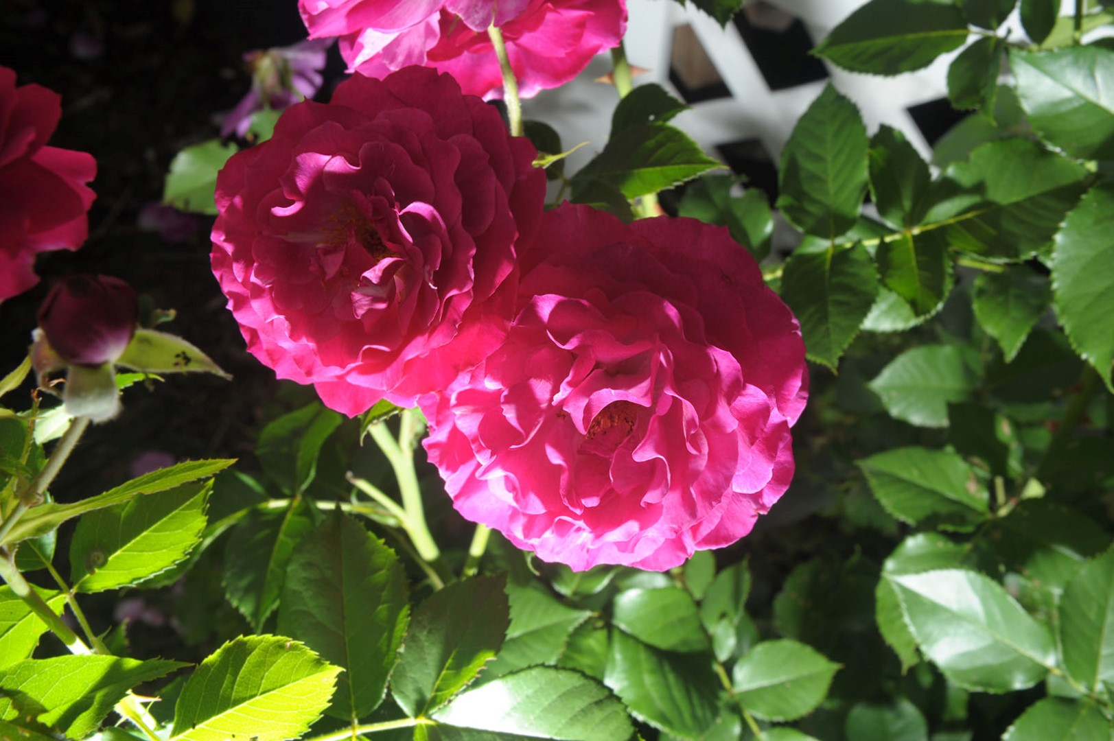 Roses in Bloom (photo)