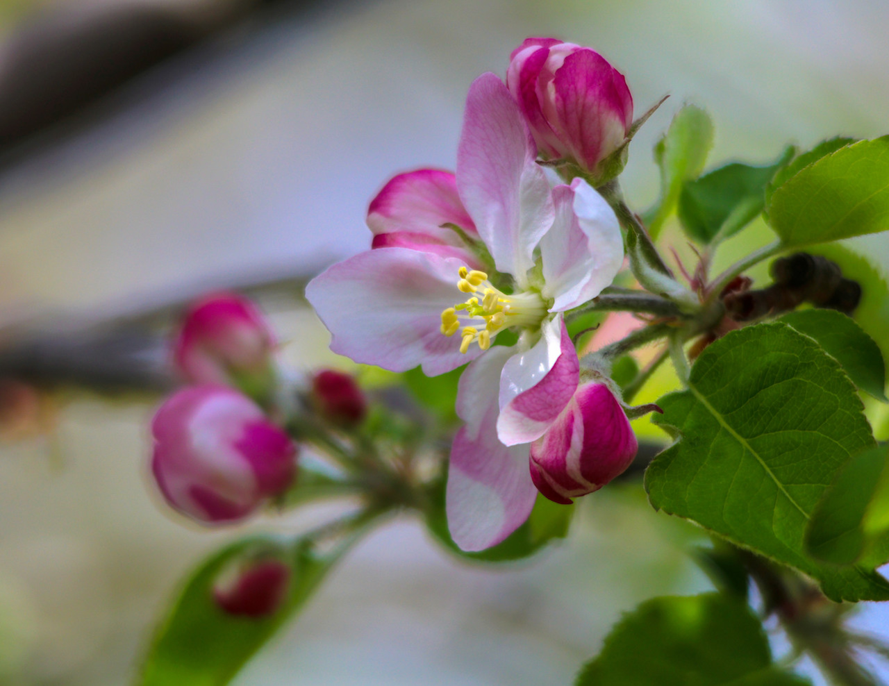 Apple Blossom Time (photo)